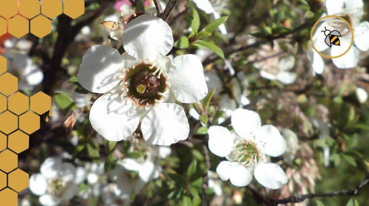 7 Fakten über die Manuka Pflanze