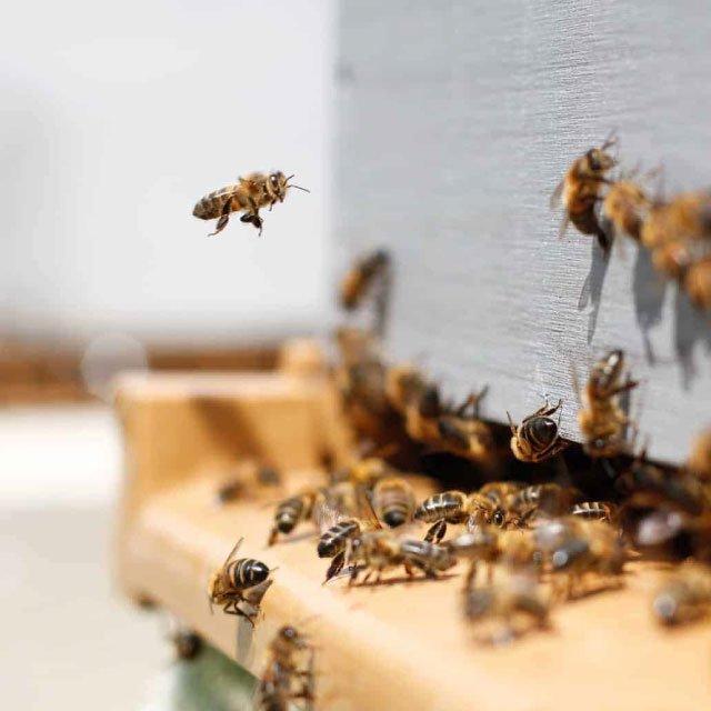 Manuka Honig Bienen
