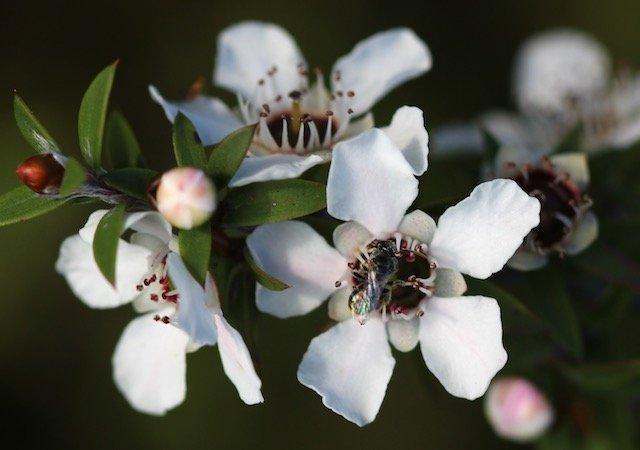 Manuka-Blüten